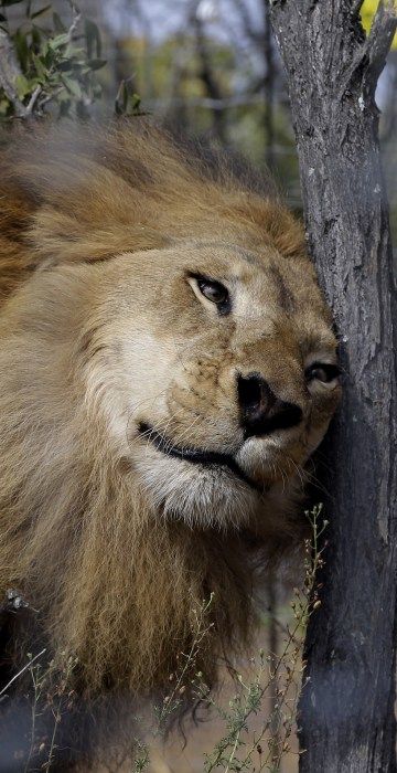 Image: A former circus lion scratches its head against a tree inside an enclosure at Emoya Big Cat Sanctuary