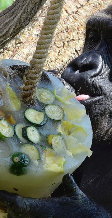 A gorilla is fed with frozen food to help him beating the summer heat at the Bioparc zoo in Valencia on July 23.