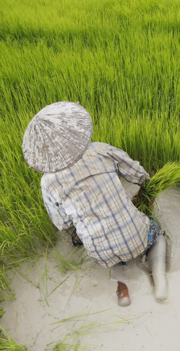 Image: Cambodia faces competition from other countries in rice export market