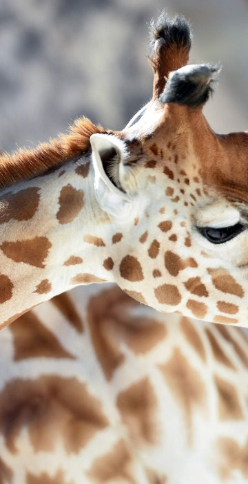 Smooching Giraffes And More In This Week S Best Animal