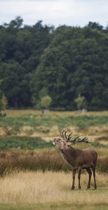 Image: A deer calls out at Richmond Park in London