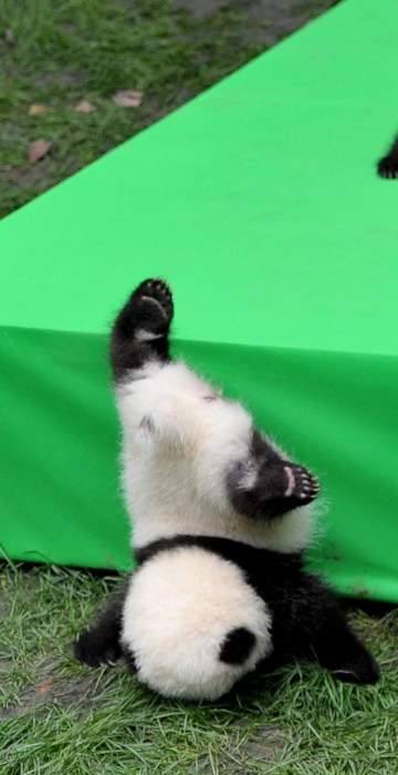 Image: A giant panda cub falls from the stage while 23 giant pandas born in 2016 are seen on a display at the Chengdu Research Base of Giant Panda Breeding in Chengdu