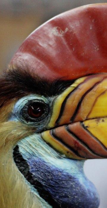 Image: INDONESIA-ENVIRONMENT-ANIMAL-CRIME-HORNBILL