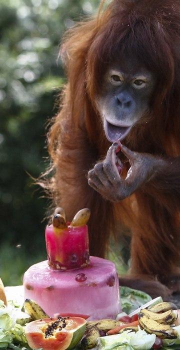 Tsunami, an eleven year old female Sumatran Orangutan eats a fruit platter during her birthday celebration at the National Zoo Ape Center in Kuala Lumpur, Malaysia
