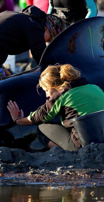 Image: Volunteers attend to some of the hundreds of stranded pilot whales still alive after one of the country's largest recorded mass whale strandings in New Zealand
