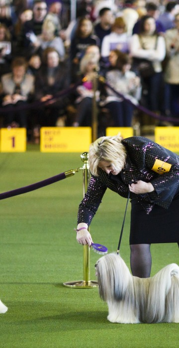 Image: 2017 Westminster Kennel Club Dog Show