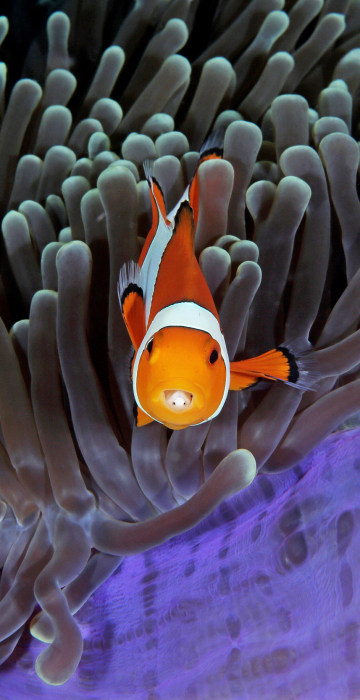 Image: Clowfish poke out of an anemone showing isopods in their open mouths in this photo taken in Indonesia
