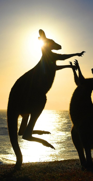 Image: Eastern grey kangaroos fight at Emerald Beach in northern New South Wales