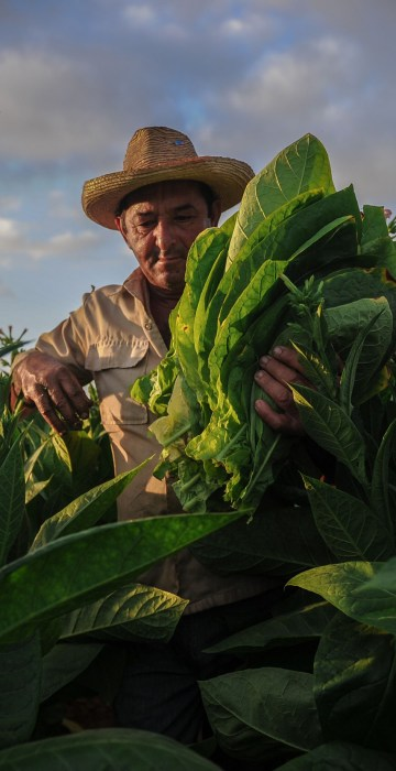 Image: A farmer works at a tobacco plantation in San Juan y Martinez, Cuba
