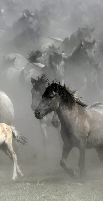 Image: One of Europe's last herd of wild horses are driven together in Duelmen, Germany