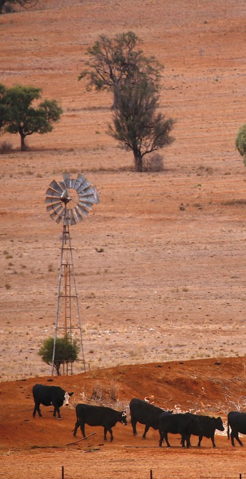Image: FILE PHOTO: Cattle walk past an empty dam and old windmill in a drought-affected paddock on a property located west of the town of Gunnedah, located in the north-west of New South Wales