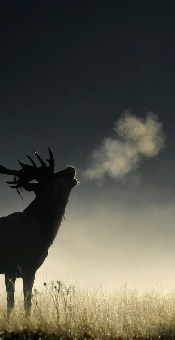 Image: A deer stag barks in the early morning light during the rutting season in Richmond Park, west London