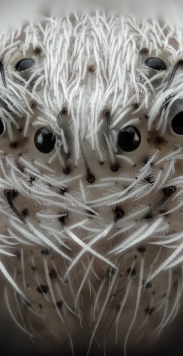 Image: Small white hair spider