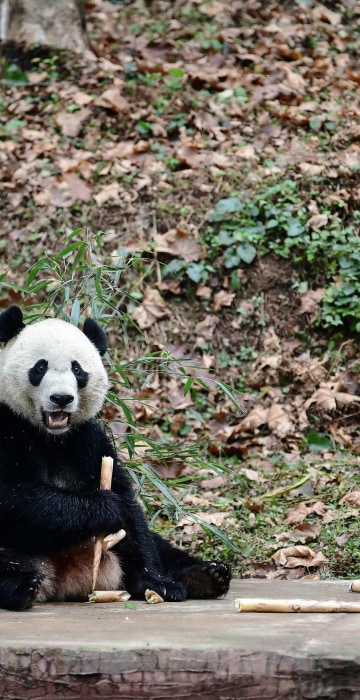 Image: CHINA-US-ANIMAL-DIPLOMACY-PANDA