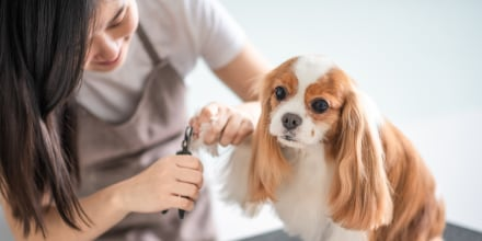 female dog groomer grooming a Cavalier King Charles Spaniel dog. Shop the 6 best dog nail clippers of 2021 from Amazon, Chewy, Walmart and more. Learn how to safely and painlessly cut your dog's nails at home.