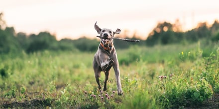 Dog running through a field with a stick in his mouth