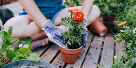 Woman planting flower in pot while sitting at garden, using gardening gloves. We have rounded up the best gardening gloves to help you with pruning, planting and digging. Shop gardening gloves from Showa Atlas, Coolibar and more.