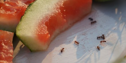 Ants with watermelon