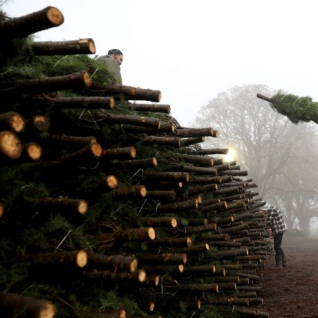 Image: Oregon Christmas Tree Farm Harvests Trees For Upcoming Holiday Season
