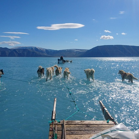 Sled dogs wade through standing water on the sea ice during an expedition in Greenland on June 13, 2019.