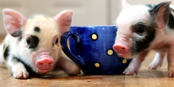 Latest Pet Craze Teacup Pigs