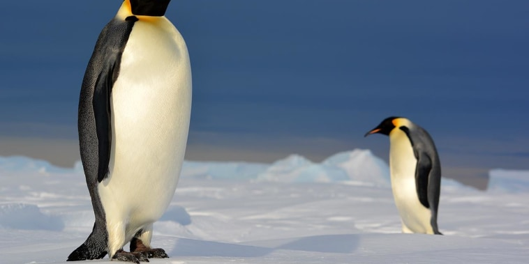 Are Penguins eating enough?