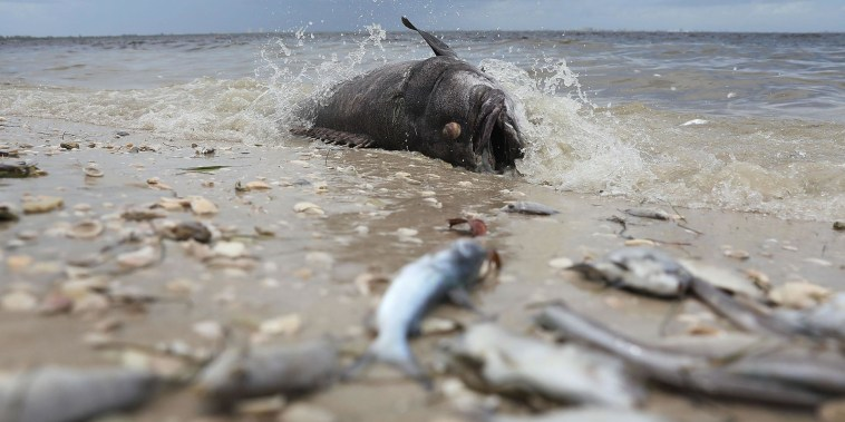 The toxic red tide that's decimating Florida's marine life