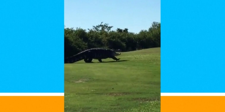 Giant gator named Chubbs returns to golf course