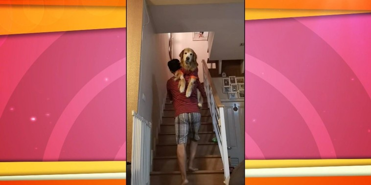 Watch: Dog owner carries his golden retrievers in PJs to bed