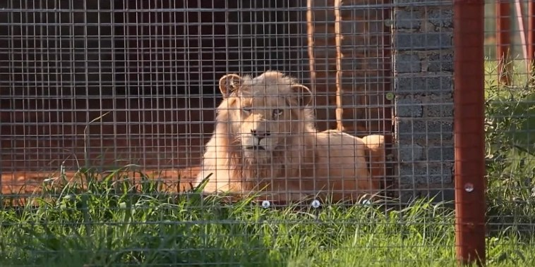 Battle to save rare white lion intensifies