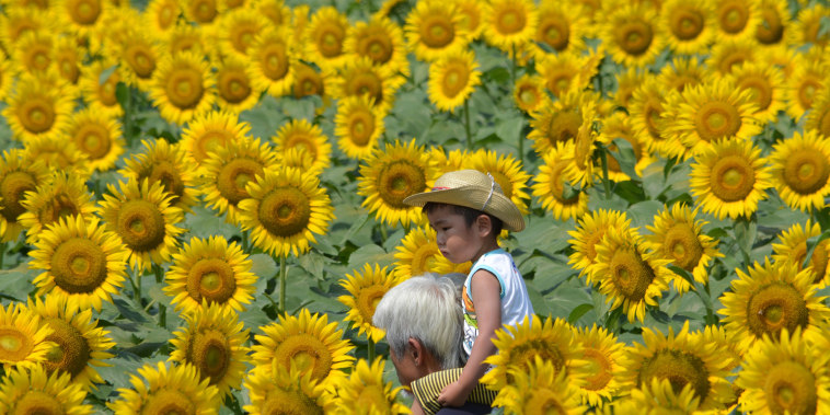 JAPAN-SUMMER-SUNFLOWERS