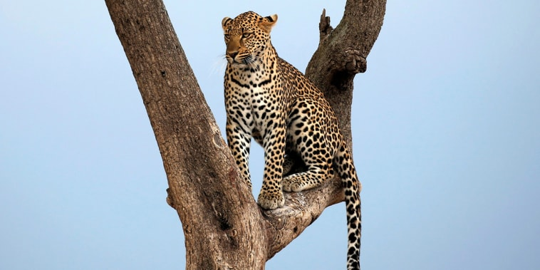 A leopard sits on a tree branch in Maasai Mara National Reserve