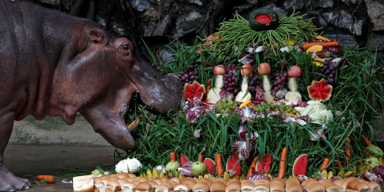 """Image: A female hippopotamus named """"Mali"""", which means Jasmine, eats fruits arranged to look like a cake during her 50th birthday celebration at Dusit Zoo in Bangkok"""