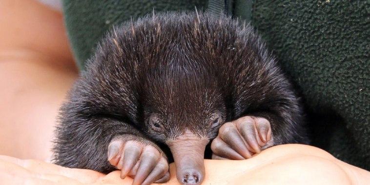Image: AUSTRALIA-ANIMAL-ECHIDNA