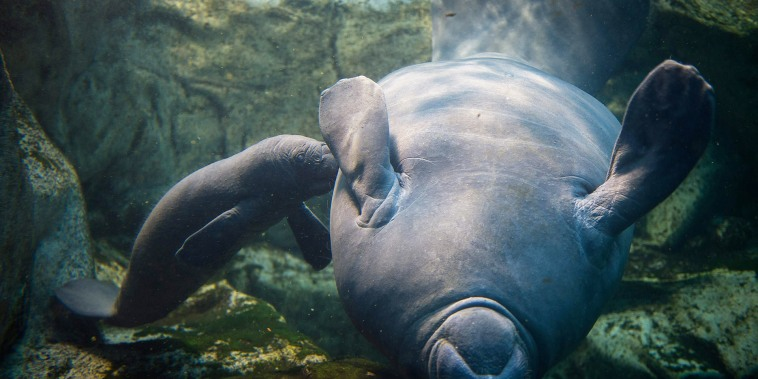 Image: FRANCE-ZOOPARC-MANATEE