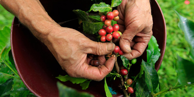 Image: A farmer harvests coffee beans at a farm near Sasaima city