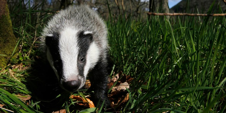 Image: A badger