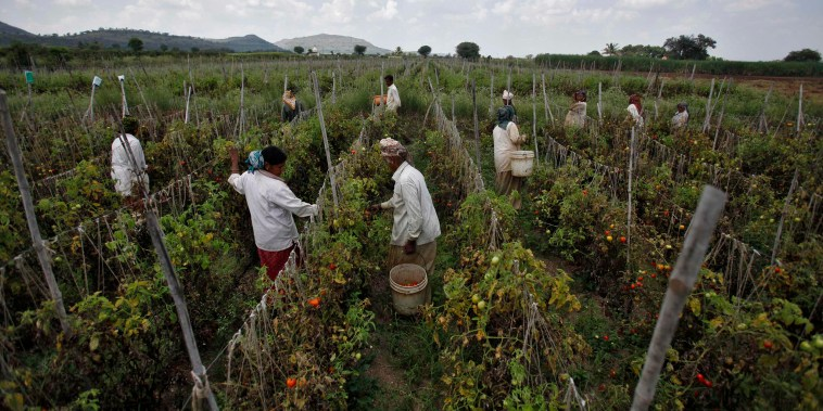 Image: Labourers harvest tomatoes on a farm that supplies fresh produce to Wal-Mart in Narayangaon