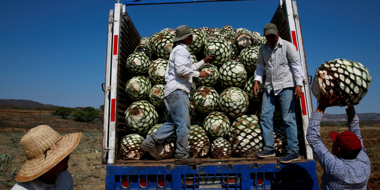 Image: Farmers, also known as jimadores, load blue agave hearts onto a truck after harvest in Tequila