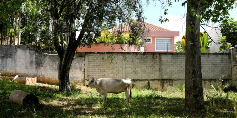 A cow in the backyard of an Apacuana commune house in Caracas, Venezuela, on Nov. 13, 2018.