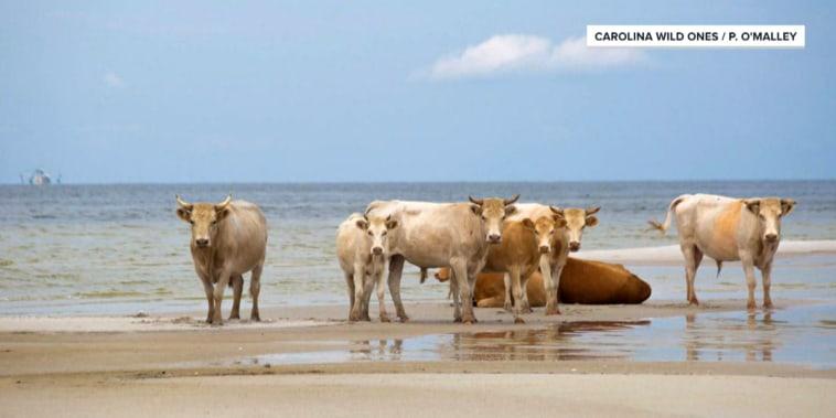 Castaway cows