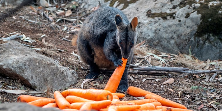 Image: Wallaby eats a carrot NSW's DPIE workers air-dropped them around national parks