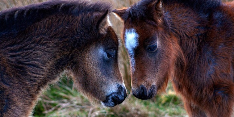 Image: Wild ponies in the Carneddau mountains in Wales on May 3, 2020.