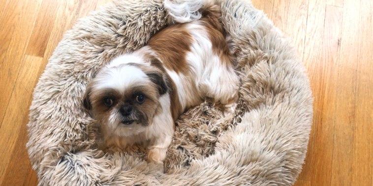 Fluffy small dog lying in tan fluffy dog bed