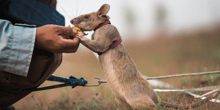 Image: Magawa, a mine-sniffing rat, in Siem Reap, Cambodia
