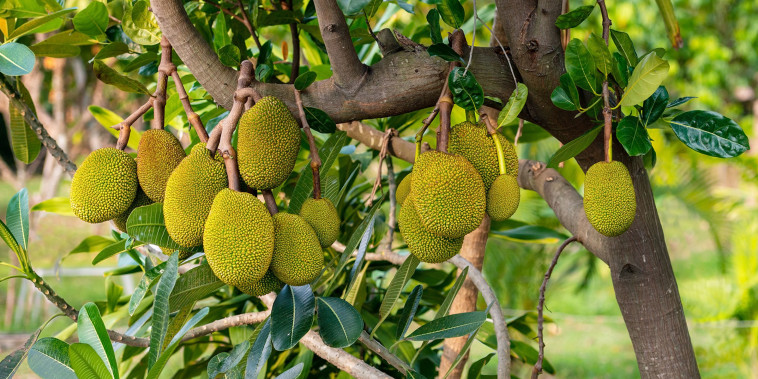 Juicy jackfruit hanging on tree