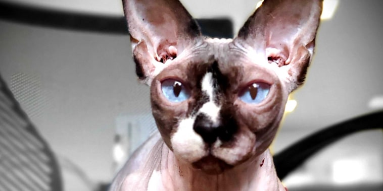 A Sphynx cat named Thea is clicker-trained to open and close her eyes, helping people relax during Zoom meditations.