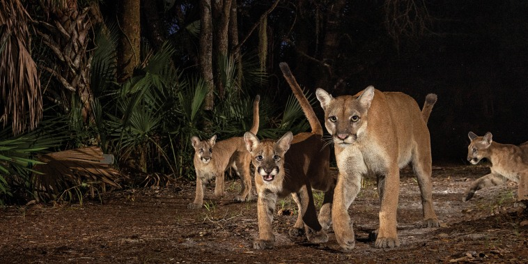 A female and three kittens explore Corkscrew Swamp Sanctuary, a reserve of old-growth cypress forest surrounded by encroaching suburbs on three sides. Many of these camera trap images took years to capture because of the cats' rarity, their unpredictable movements, and the difficulty involved in getting the right lighting. Florida's weather can be a challenge too: One camera was lost during a hurricane but was later recovered. (Photo by Carlton Ward, Jr.)