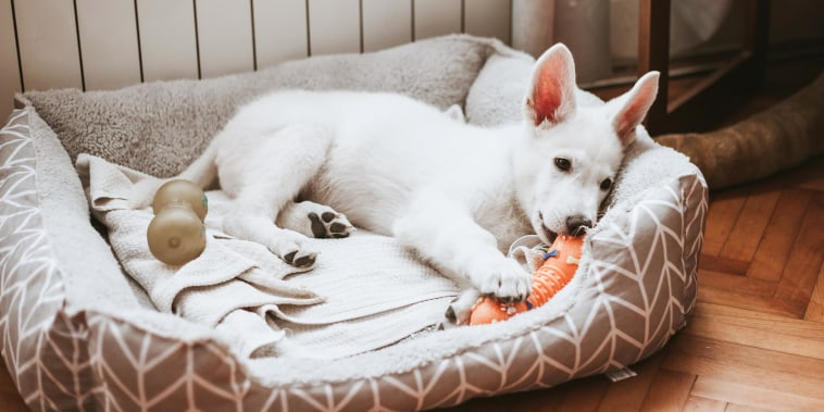 White puppy laying in its bed, playing with an orange toy