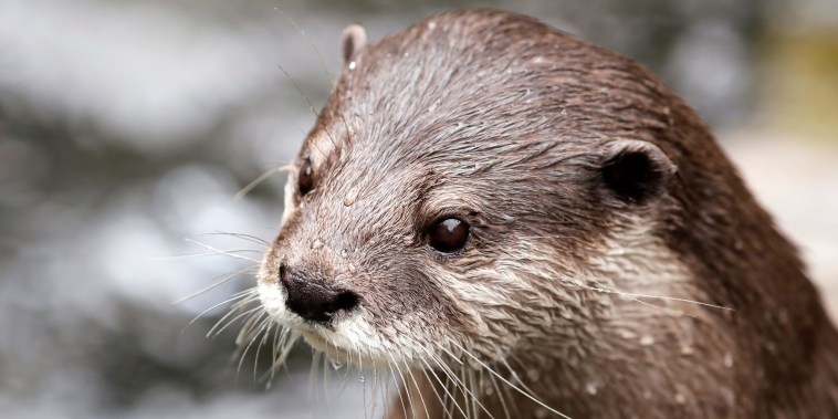 An Asian small-clawed otter waits to be fed at the Woodland Park Zoo on May 26, 2020, in Seattle.